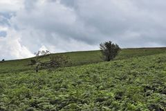 Windblown träd, Mendip kullar arkivbilder