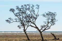 Windblown träd vid kusten royaltyfri fotografi