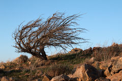 Windblown tree above Drought stricken Lake Isabella at sunset as seen from Yankee Canyon Ridge Stock Photos