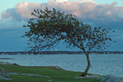 Windblown tree on bay Stock Images
