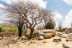 Windblown Tree Among Cactus Royalty Free Stock Photography