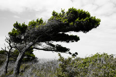 Windblown tree on coast artistic Stock Photo