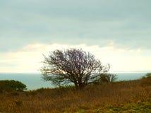 Windblown tree 2 stock photo