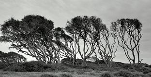 Windblown. Trees on the coast of Kure Beach Royalty Free Stock Photography