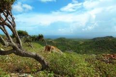 Windblown Trees på det Bonaire berg Arkivbilder