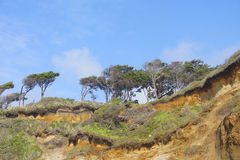 Windblown trees on sandy hillside Royalty Free Stock Photo