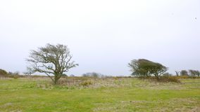 Very windblown trees royalty free stock photos