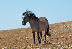 Windblown Wild Horse Grulla Gray colored Band Stallion on Sykes Ridge in the Pryor Mountains in Montana Royalty Free Stock Photography