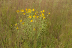 Windblown Yellow Wildflowers Royalty Free Stock Photos