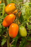 Windbreak tomatoes on a branch. Ripened tomatoes on a bed Stock Photography
