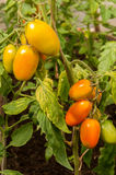 Windbreak tomatoes on a branch. Ripened tomatoes on a bed stock image