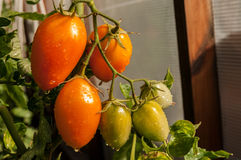 Windbreak tomatoes on a branch. Ripened tomatoes on a bed royalty free stock images