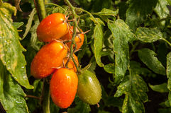 Windbreak tomatoes on a branch. Ripened tomatoes on a bed stock photos