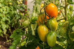 Windbreak tomatoes on a branch. Ripened tomatoes on a bed royalty free stock photos