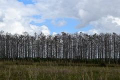 Windbreak of trees at Loxahatchee National Wildlife Refuge. Row of tall trees lined up to create uniform column protecting field against nature`s gales. Stand stock photos