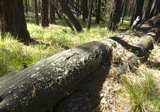 Windbreak. A windbreak in the Siberian taiga. Pine fallen during a strong wind Stock Photography