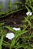 Winde oder Winde des weißen Zwergs im Garten Stockfoto
