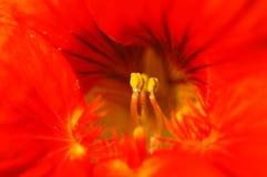 Windenblumenstaubgefäß Lizenzfreies Stockfoto