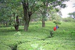 Windende weg door de tuinen van de kangrathee, India Royalty-vrije Stock Fotografie