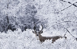 Deer White Tail In Snow Christmas Stock Images