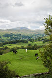Windermere Lake from Orrest Head on the Meadows with Cows Stock Photos