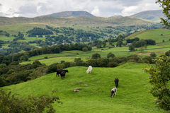 Windermere Lake from Orrest Head on the Meadows with Cows Stock Photography