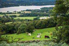Windermere sjö från det Orrest huvudet på ängarna med kor Arkivfoto