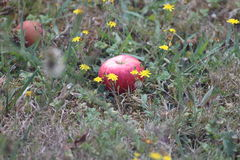 Windfall apple Stock Photo
