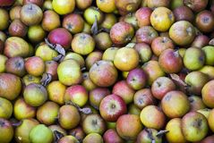 Windfall apples. Background image of windfall apples Royalty Free Stock Photography