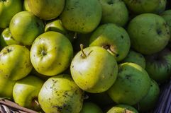 Windfall apples collected together before being cleaned. Royalty Free Stock Image