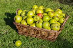 Windfall apples collected in wicker basket in Autumn. Stock Photos
