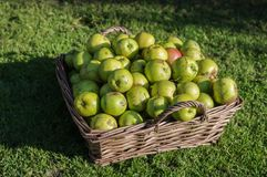 Windfall apples collected in wicker basket before being cleaned. Royalty Free Stock Images