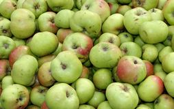 Windfall Apples. Royalty Free Stock Photo
