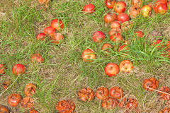 Windfall Apples of the Ground Stock Image