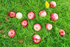 Windfall - apples lie on a meadow. Fallen red apples in green grass. Autumn background Royalty Free Stock Image