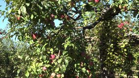 Windfall apples lie on soil and apple tree branches full of ripe red fruits. 4K stock footage