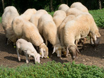 Windfall apples for lunch - farm sheep, with lamb. Royalty Free Stock Images