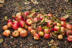 Windfall apples Stock Photos