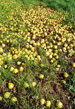 Windfall of apples Stock Photography