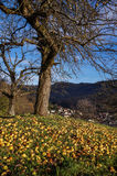 Windfall Apples in Old Orchard on Sunny Autumn Day Royalty Free Stock Photography
