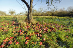 Windfall Apples Stock Photography