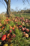 Windfall Apples Stock Photo