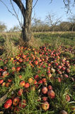 Windfall Apples Royalty Free Stock Photo