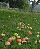 Windfall Apples Royalty Free Stock Photos