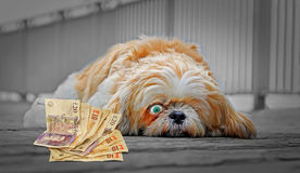 Windfall for dog. Concept photo of a sleeping dog with one eye fixed intently on windfall cash Royalty Free Stock Photography