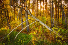 Windfall In Forest. Storm Damage. Fallen Tree Royalty Free Stock Photos