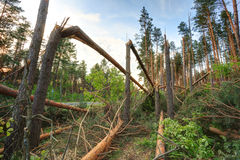 Windfall in forest. Storm damage. Royalty Free Stock Photo