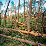 Windfall in forest. Storm damage. Royalty Free Stock Image
