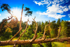 Windfall In Forest. Storm Damage. Fallen Trees In Royalty Free Stock Images