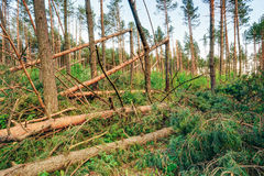 Windfall in forest. Storm damage. Fallen trees in forest after s Stock Photo